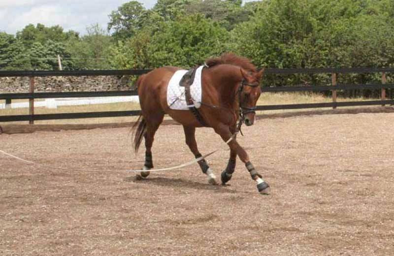 equine rehabilitation with an Equi-ami training aid