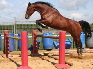 Working a horse loose over fences