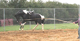 Young horse bucking with a saddle on