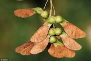 sycamore tree seeds